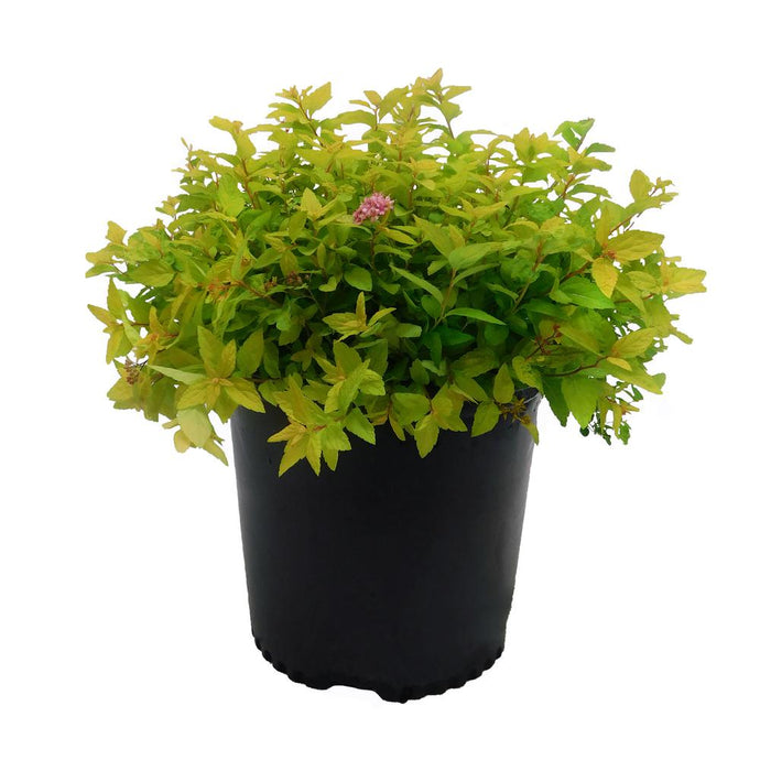 2.25 Gal. Goldmound Spirea Flowering Shrub With Pink Blooms