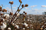 What is the difference between organic and traditional cotton?