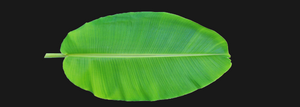 Banana Full Leaf