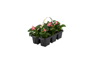 Begonia packs