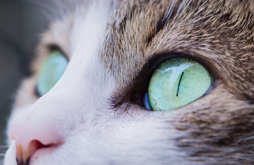 Cat's eyes are very sensitive to light