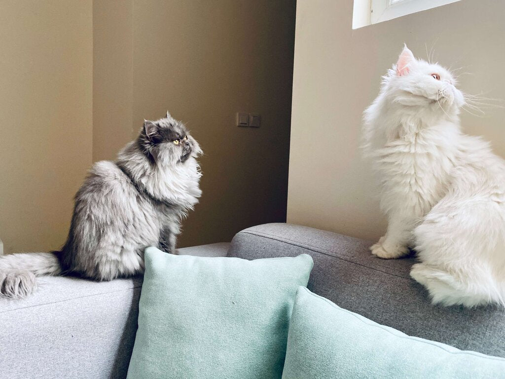 Long-haired cats need well-lit living space to keep their fur smooth and glossy