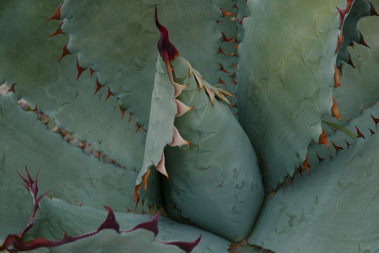 Agave Cupreata (also known as papalote)