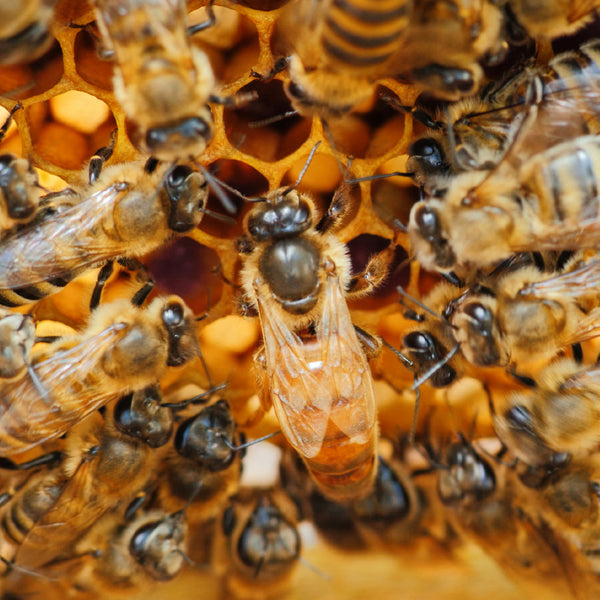queen bee surrounded by worker bees