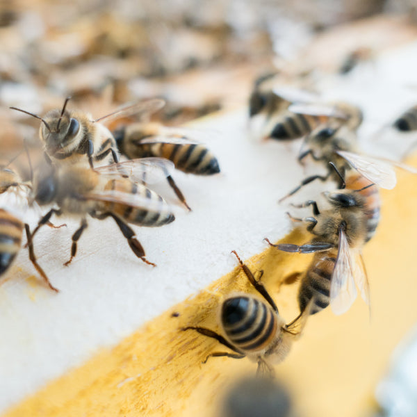 close up of honey bees outside of a hive