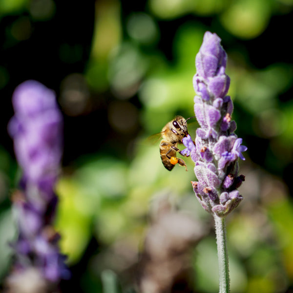 bee with pollen on lavender