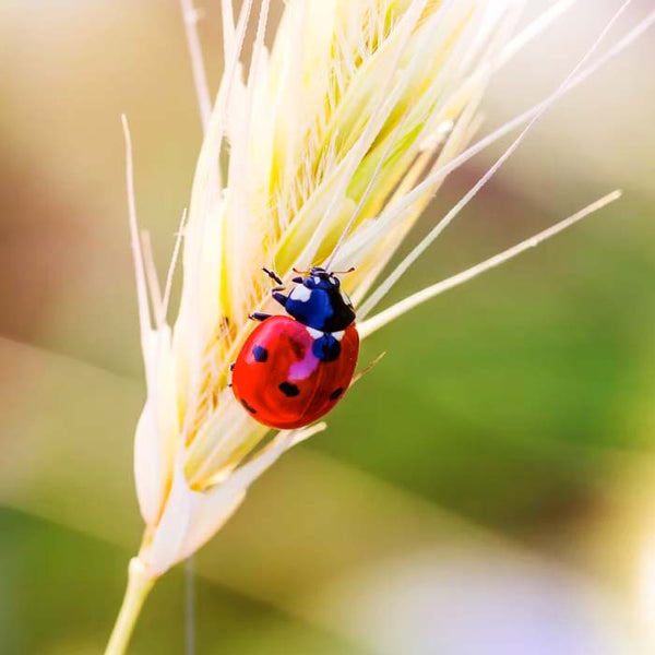 lady bug on a blade of grain