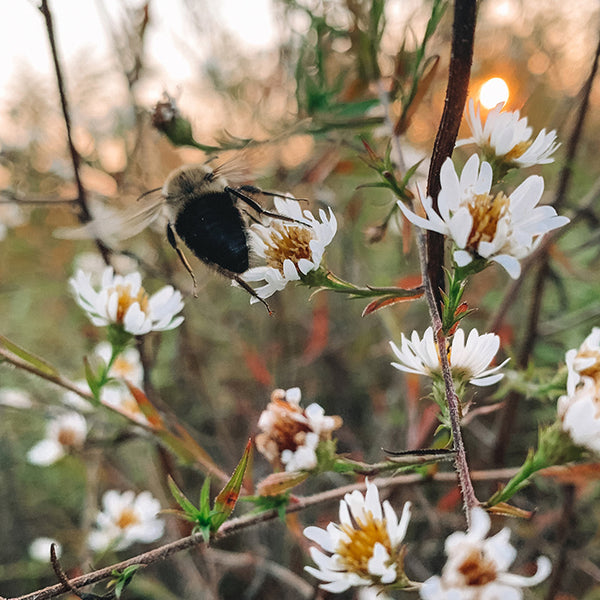 bumblebee on white flowers