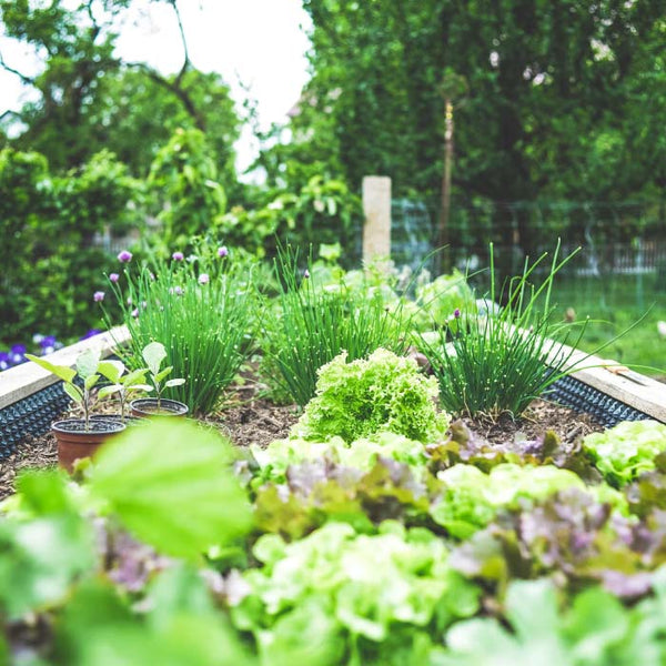 garden bed with lettuces