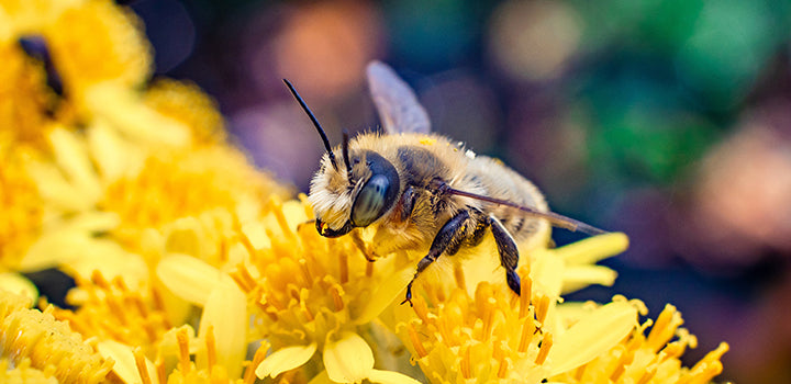 Western honey bee (Apis mellifera) resting atop a bed of yellow flowers.
