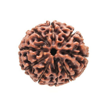 9 Mukhi Rudraksha - Power, Energy and Good Fortune!