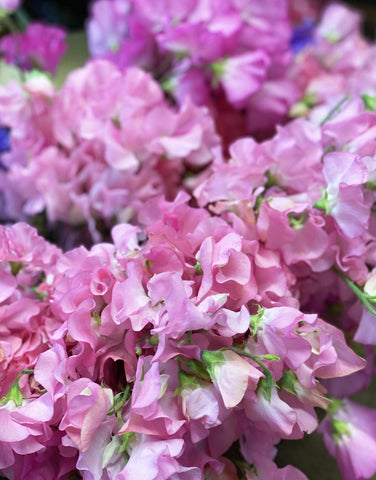Sweet Peas - Bundle 50 stems