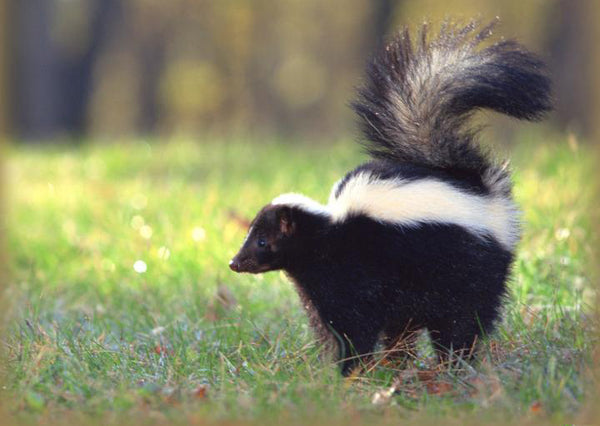 how to get rid of skunk
