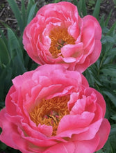 Load image into Gallery viewer, Coral Charm peony has the largest flowers of all the coral peony varieties.