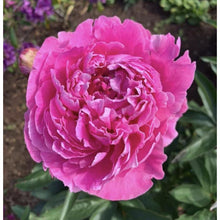 Load image into Gallery viewer, Dr Alexander Fleming Peony is large, ruffled hot pink peony that may need staking..
