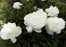 Load image into Gallery viewer, Duchesse de Nemours has large white flowers that require staking.