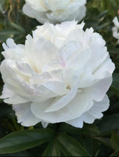 Load image into Gallery viewer, Gardenia peonies are in the list of Top 10 Very Fragrant Peonies.