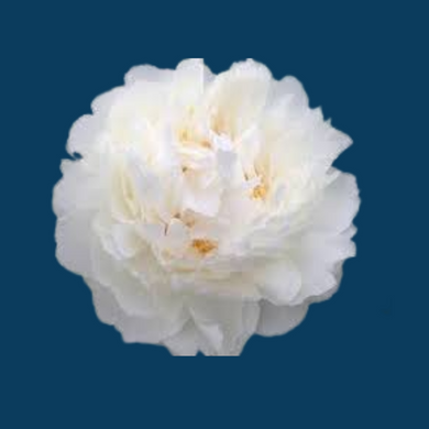 Bowl of Cream peonies are large white peonies popular as cut flowers for weddings.