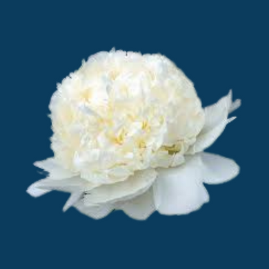 Bridal Shower variety is a white peony with a large flower that is bomb shaped and bred for the wedding industry.