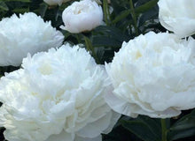 Load image into Gallery viewer, Duchesse de Nemours is the most popular white peony.