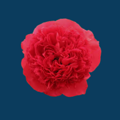 Command Performance is a bright red peony that lasts over two weeks.