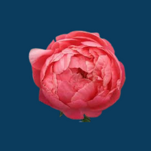 Load image into Gallery viewer, Coral Charm peony starts out as a delicate coral bud that unfurls to a large flower.