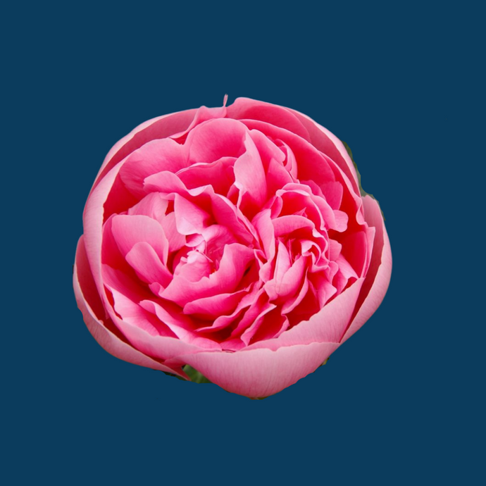 Etched Salmon is one of the more rare peony varieties that has perfectly shaped pink flowers.