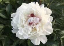 Load image into Gallery viewer, Festiva Maxima peonies resemble raspberry ripple ice cream making it one of the Top 10 Most Popular Peony Varieties.