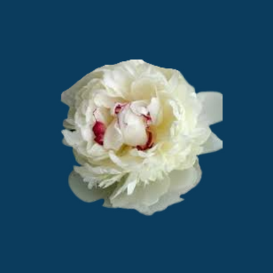 Festiva Maxima peony flowers are white with red streaks.  They are one of the most fragrant peony varieties.