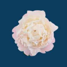 Load image into Gallery viewer, Gardenia peony flowers are blush pink in the bud stage and open to an almost pure white making it a sought after cut flower.