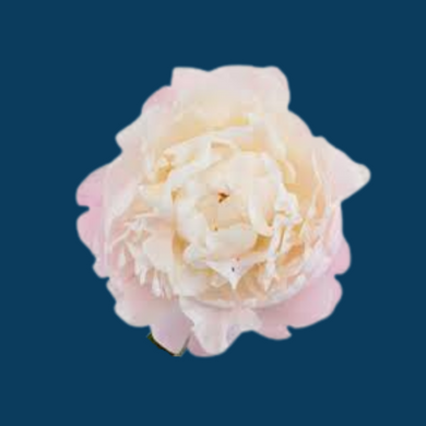 Gardenia peony flowers are blush pink in the bud stage and open to an almost pure white making it a sought after cut flower.