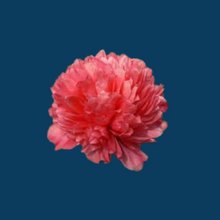 Load image into Gallery viewer, Peonia Lorelei forms a stunning apricot pink peony flower.