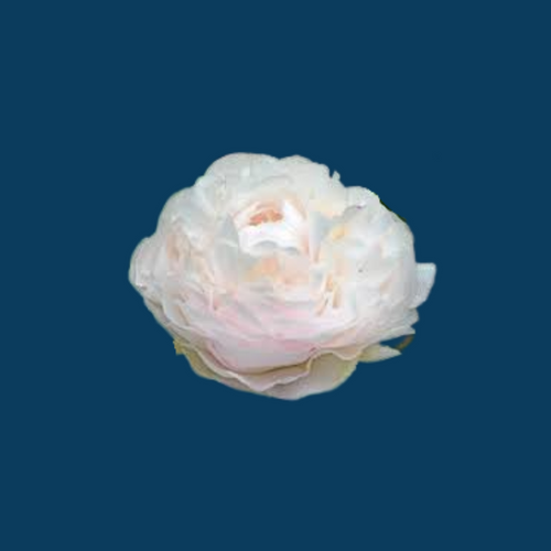 Mother's Choice is one of the most popular blush peony varieties.
