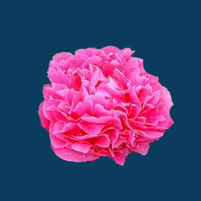 Alexander Fleming peony has hot pink flowers that bloom late in the season.