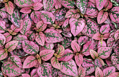 overhead view of pink and green polka dot plant leaves