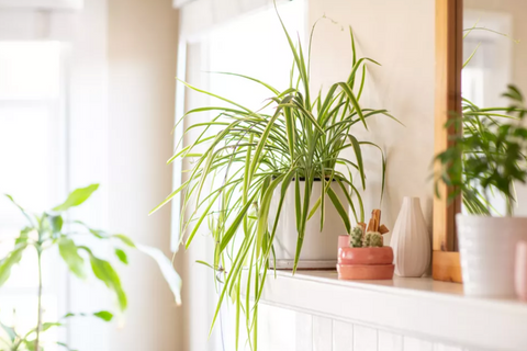 a mature spider plant sits on a living room mantle