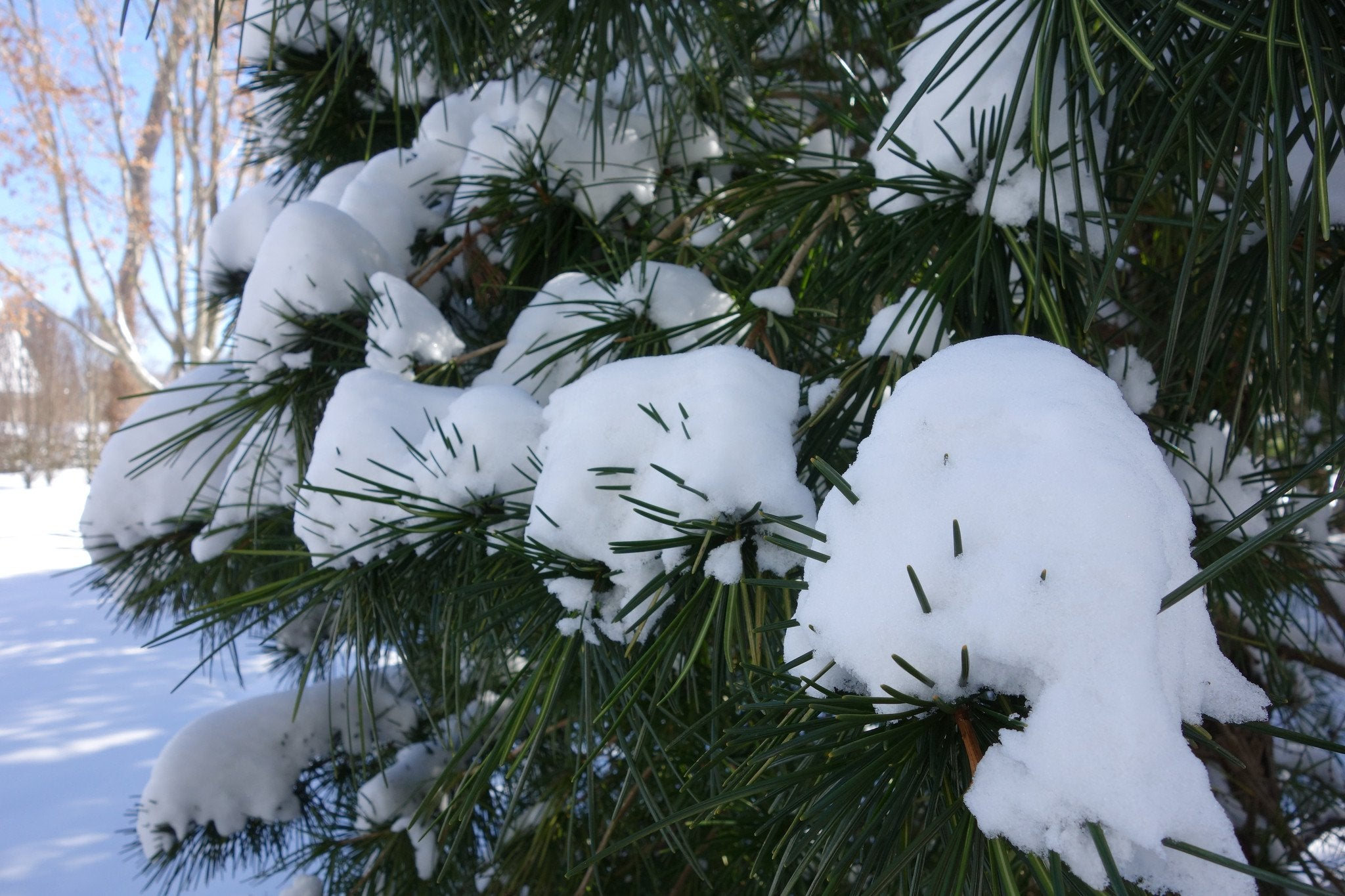 From Cryptomeria to Specimen Spruces: A Winter Walk at LongHouse