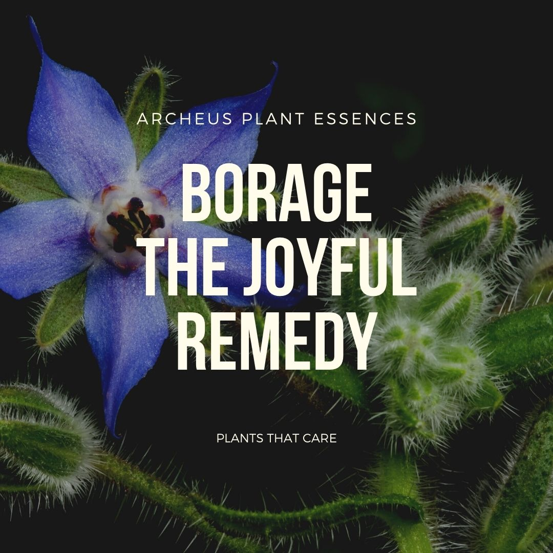 Borage plant essence