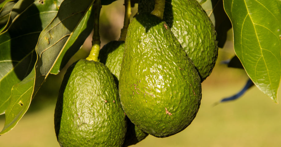 How to grow avocado in your backyard or homestead