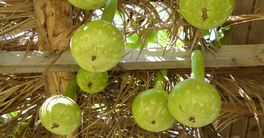 How to Grow Bottle Gourds
