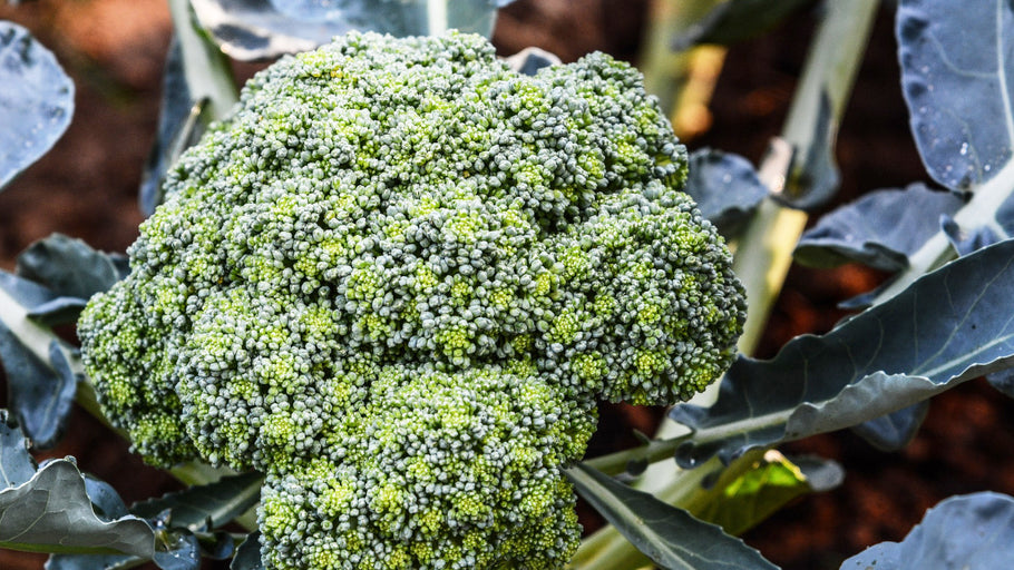 12 Easy Steps to Grow Broccoli