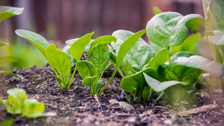 How to grow spinach in your garden or farm
