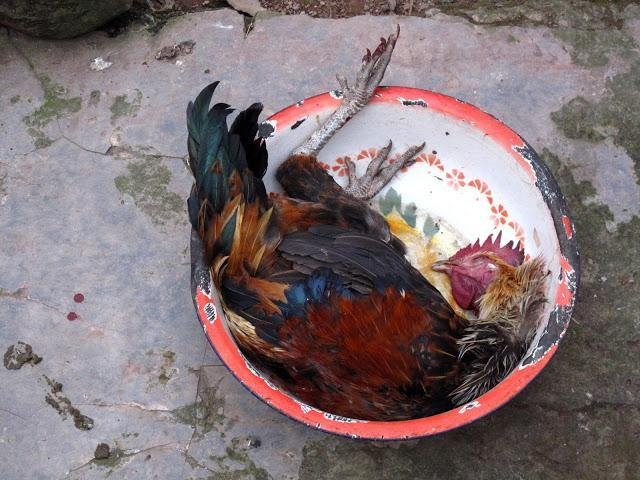 Chickens of Yunnan - Teaurchin