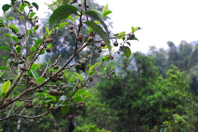 """Cha Guo"" - tea seed pods growing in Lao Man E"