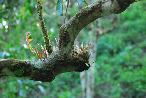 Epiphytes growing on the tea trees, look like dragonfly wings