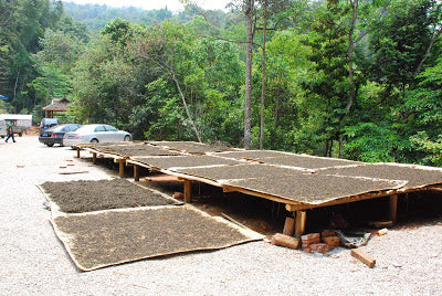 Freshly made maocha being laid out to sun dry