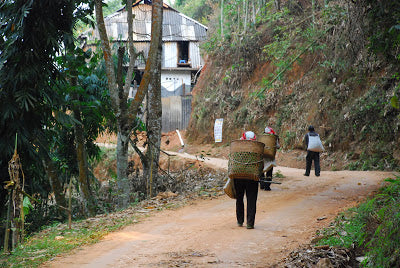 Freshly picked leaves being brought into the village for processing