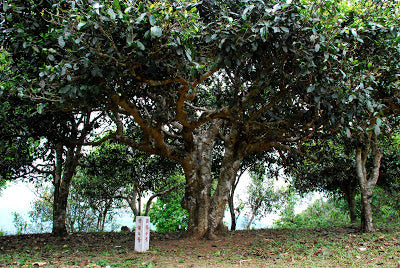 This tree named 西保四号 is older than 600 years.