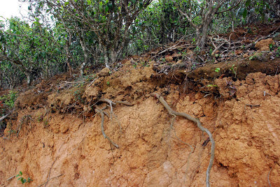 Tea tree roots exposed by road widening in Lao Ban Zhang