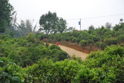 Young tea plants on the dirt track leading into Lao Ban Zhang